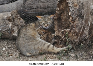 African Wild Cat mother with kittens