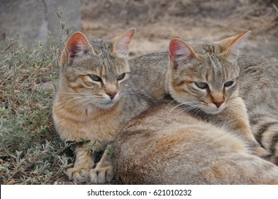 African wild cats together