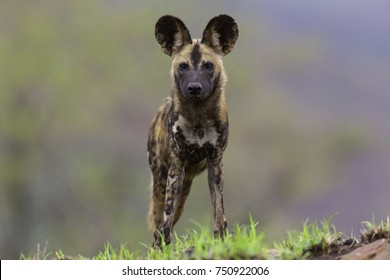 African Wild Dog in the Bush and Game Reserves