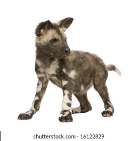 African wild dog cub(9 weeks) - Lycaon pictus  in front of a white background