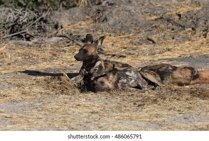 African Wild Dog at den site