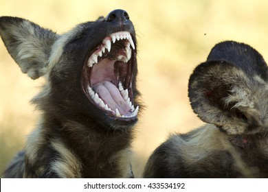 An African wild dog displaying his teeth