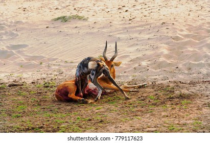 African Wild Dog feeding on a puku which is still alive in South Luangwa national park, zambia