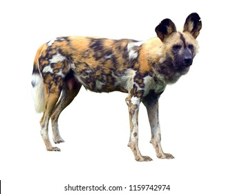 African wild dog isolated on white background. No people. Copy space
