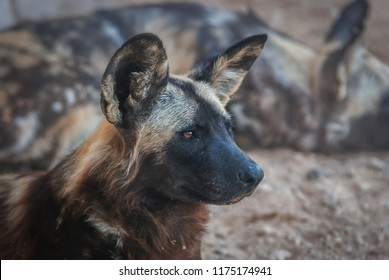African wild dog, also known as African hunting dog