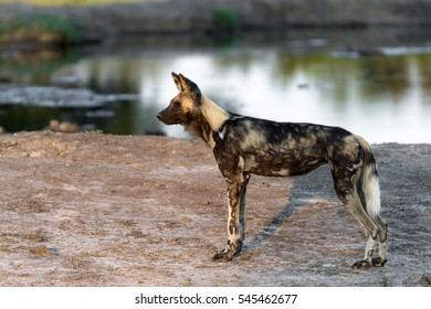 African Wild Dog, Kruger National Park, South Africa