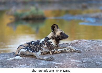 African Wild Dog, Kruger National Park, South Africa