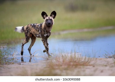 African Wild Dog, Lycaon pictus, walking in water, staring directly at camera.