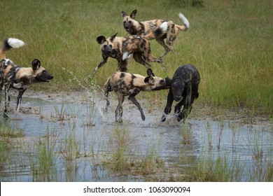 African Wild Dog, Lycaon pictus, pack killing buffalo calf in water