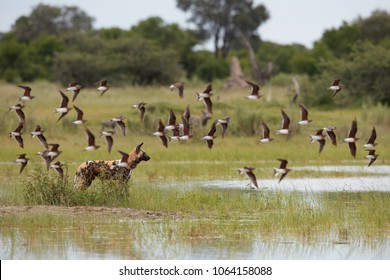 African Wild Dog, Lycaon pictus, alfa female alerted in the water behind the flying flock of Black-winged pratincole. African wildlife photography. Safari in Moremi, Okavango delta, Botswana.