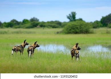 African wild dog, Lycaon pictus, walking in the water. Hunting painted dog with big ears, beautiful wild animal in habitat. Wildlife nature, Moremi, Okavanago delta, Botswana, Africa.