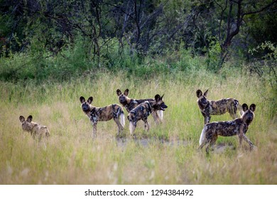 African wild dog (Lycaon pictus), aka, painted wolf, African hunting dog, Cape Hunting Dog or African painted dog. North West Province. South Africa.