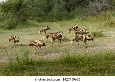 African wild dog, Lycaon pictus, walking in the water. Hunting painted dog with big ears, beautiful wild animal in habitat. Wildlife nature, Moremi, Okavanago delta, Botswana, Africa