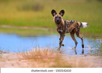 African Wild Dog, Lycaon pictus, african painted dog walking in blue water puddle, staring directly at camera. Moremi game reserve, Botswana. Low angle photo, Endangered, wild animals of Africa.