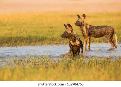 African Wild Dog (Lycaon pictus) in water