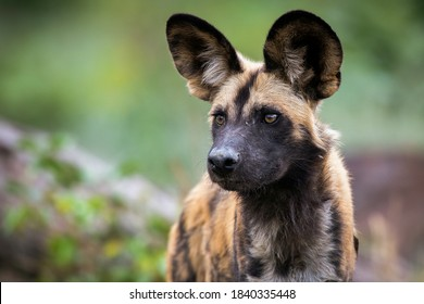 The African wild dog (Lycaon pictus), also called the painted dog, or Cape hunting dog