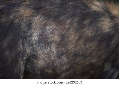 African Wild Dog (lycaon pictus) fur pattern close up during sunrise in Zimanga Private Game Reserve