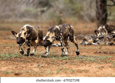 The African wild dog (Lycaon pictus), also known as African hunting or  African painted dog, painted hunting dog or painted wolf, two young dogs are going to control bush movement