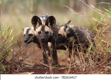 The African wild dog (Lycaon pictus), also known as African hunting or  African painted dog, painted hunting or painted wolf,young dog separated from the pack.Puppy of an african dog in high grass.