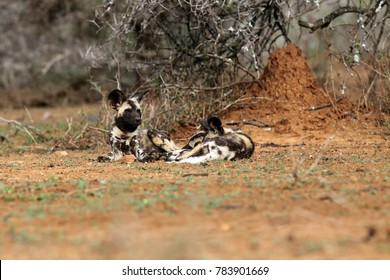 The African wild dog (Lycaon pictus), also known as African hunting or  African painted dog, painted hunting dog or painted wolf.Puppy of an african dog sleeping in the open landscape.