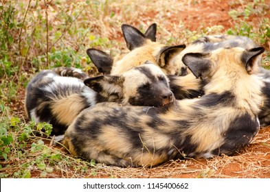 African wild dog in national park, South Africa, Lycaon pictus family