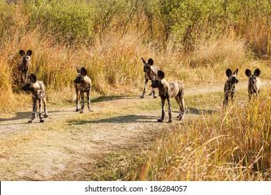 African Wild Dog at Okavango Delta - Moremi National Park in Botswana