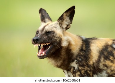 African wild dog, open snout muzzle with teeth, walking in the water on the road. Hunting painted dog with big ears, beautiful wild animal. Wildlife from Botswana, Africa.