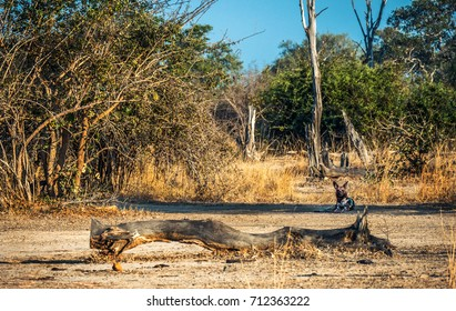 African Wild Dog relaxing after hunting looking into camera in Zambia