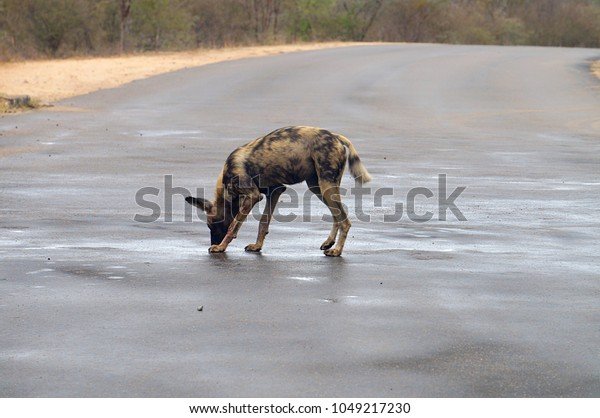 African Wild Dog in road at Kruger National Park in South Africa