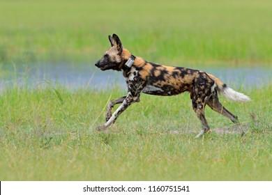 African wild dog, running in the green grass, Okacango deta, Botswana, Africa. Dangerous spotted animal with big ears. Hunting painted dog on African safari. Wildlife scene from nature.
