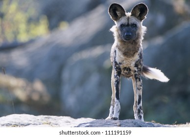 An African wild dog standing on a cliff
