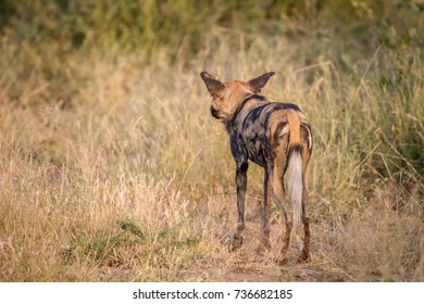 African wild dog starring at something from behind