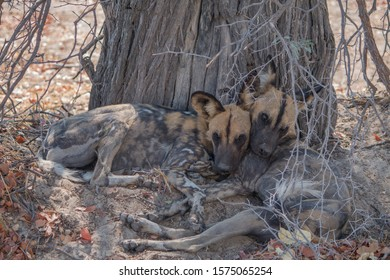 African wild dog under a tree, Moremi game reserve, Botswana, Africa
