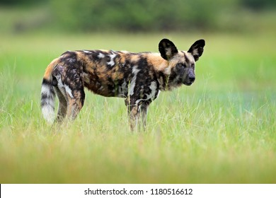African wild dog, walking in the green grass, Okacango delta, Botswana, Africa. Dangerous spotted animal with big ears. Hunting painted dog on African safari. Wildlife scene from nature.