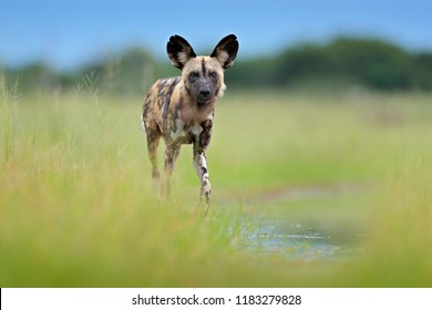 African wild dog, walking in the green grass, Okavango delta, Botswana, Africa. Dangerous spotted animal with big ears. Hunting painted dog on African safari. Wildlife scene from nature.