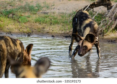 African Wild Dogplaying in water, Sabi Sand Game Reserve, South Africa