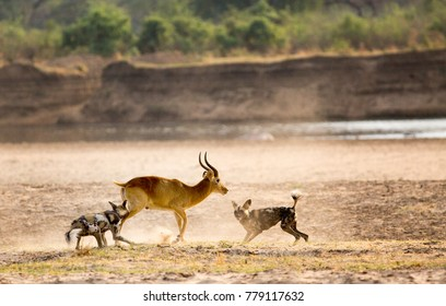 African Wild Dogs attacking a puku with dust flying in South Luangwa National Park, Zambia