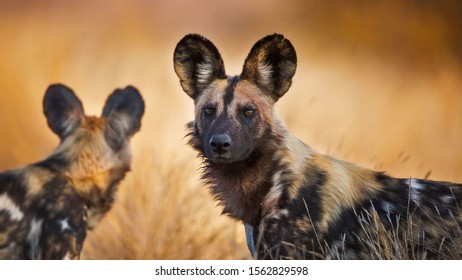 African Wild dogs before a hunt
