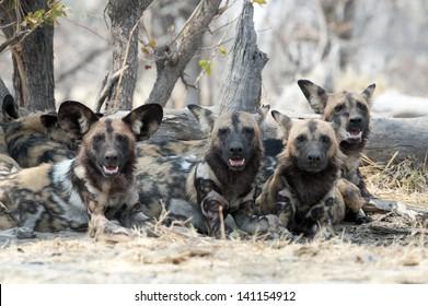 African wild dogs in Botswana's  Okavango  delta ,Africa