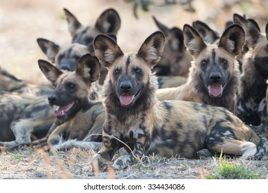 African wild dogs in Chobe National Park, Savuti on the main road.