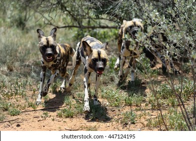 African Wild Dogs hunting in the bushveld, Namibia. Africa