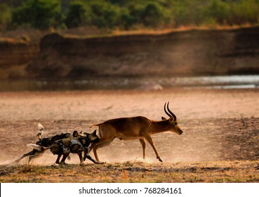 African Wild Dogs (Lycaon pictus) attacking a puku antelope on the open plains next to the Luangwa River.  South Lunagwa National Park, Zambia, Southern Africa