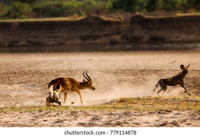 African Wild Dogs (Lycaon pictus) attacking a puku antelope on the African plains next to the Luangwa River.  South Lunagwa National Park, Zambia, Southern Africa