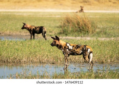 African wild dogs on the lookout for prey.