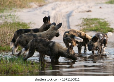 African Wild Dogs relaxing and playing in water