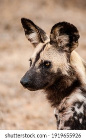 African Wild Dogs resting in the grasslands of the Kruger National Park, South Africa