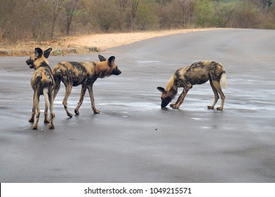 African Wild Dogs in road at Kruger National Park in South Africa