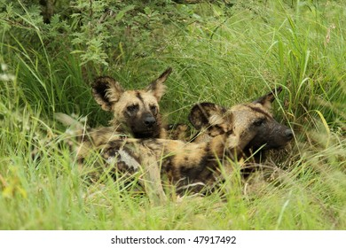 African wild dogs, two resting