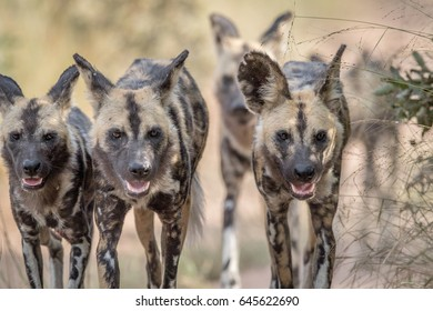 African wild dogs walking towards the camera in the Kruger National Park, South Africa.