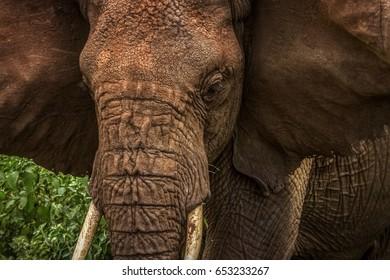 African wild elephant close up. Africa. Tanzania.